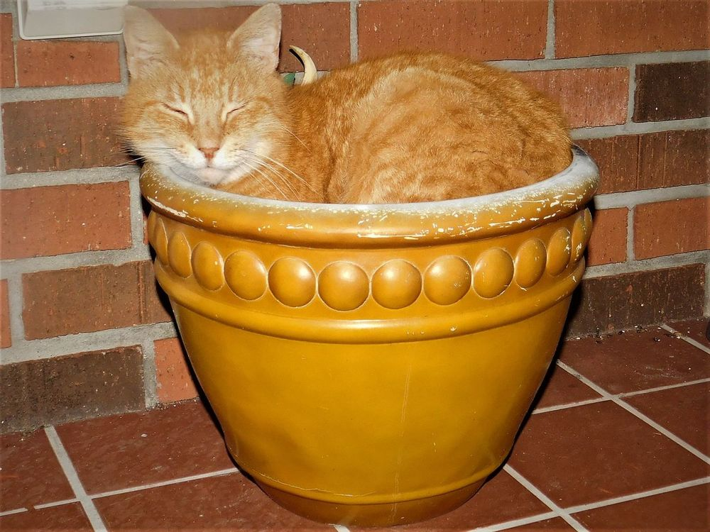 My cat, Kiki, likes to sleep in flower pots, lol Brick Wall Brick Wall Background Cat Cat In Flower Pot Cat In The Box Cats Of EyeEm Comfy Cat  Cute Cat Cute Pets EyeEm Animal Lover Flower Pot Flowerpot Happy Cat Happy Kitty Kitty Cat Outdoors Pets Of Eyeem Potted Cat Sleepy Cat Smiling Cat Sweet Cat Live For The Story BYOPaper! Happiness Ingenuity
