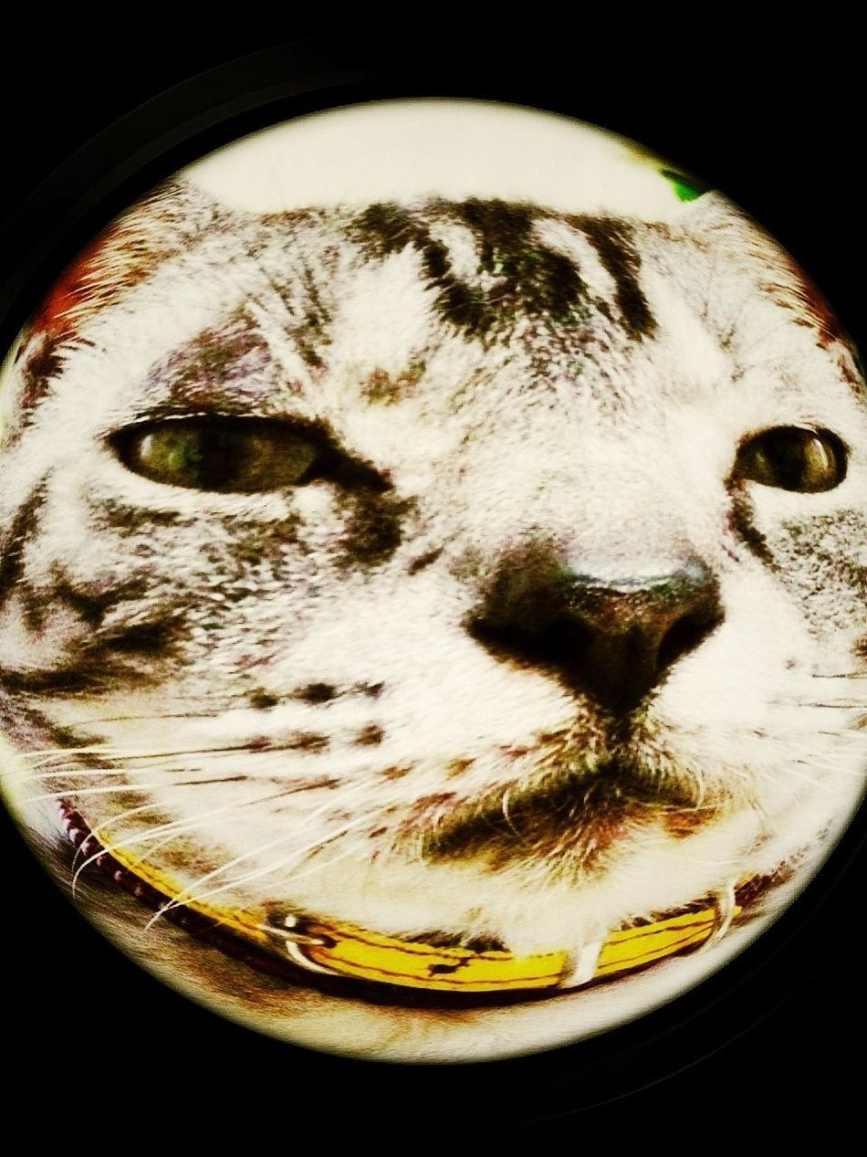 Cat My Cat Fish Eye まぬけづら。