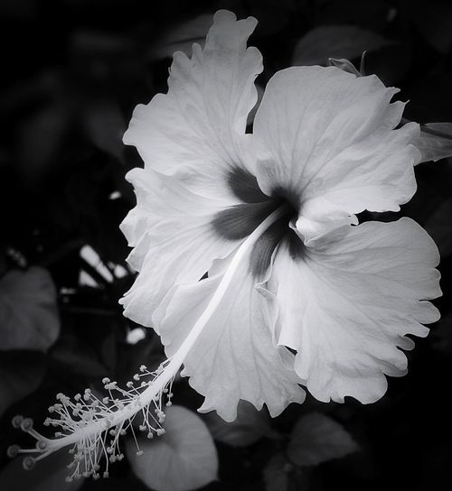 """""""Flowers are restful to look at. They have neither emotions nor conflicts.""""~Sigmund Freud~ Flower Petal Flower Head Fragility Beauty In Nature Plant Nature Growth Outdoors No People Close-up Freshness Hibiscus Bnw Bnw_captures Bnw_collection Blackandwhite Black And White Blackandwhite Photography Black And White Photography Bnwphotography EyeEm Nature Lover Eye4photography  The Purist (no Edit, No Filter) Outdoor Photography"""