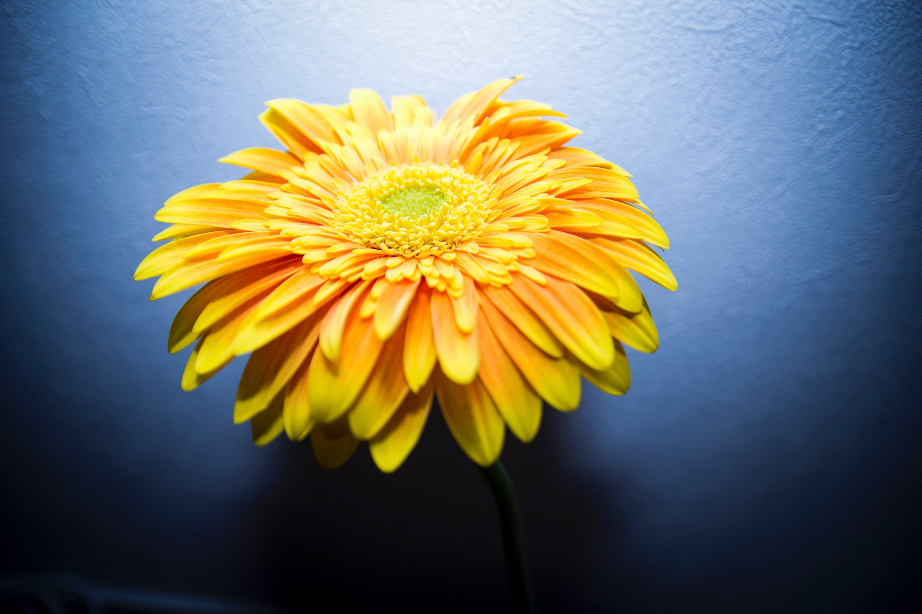 flower, yellow, petal, flower head, freshness, fragility, beauty in nature, sunflower, single flower, close-up, growth, pollen, nature, studio shot, blooming, stem, plant, indoors, blossom, in bloom