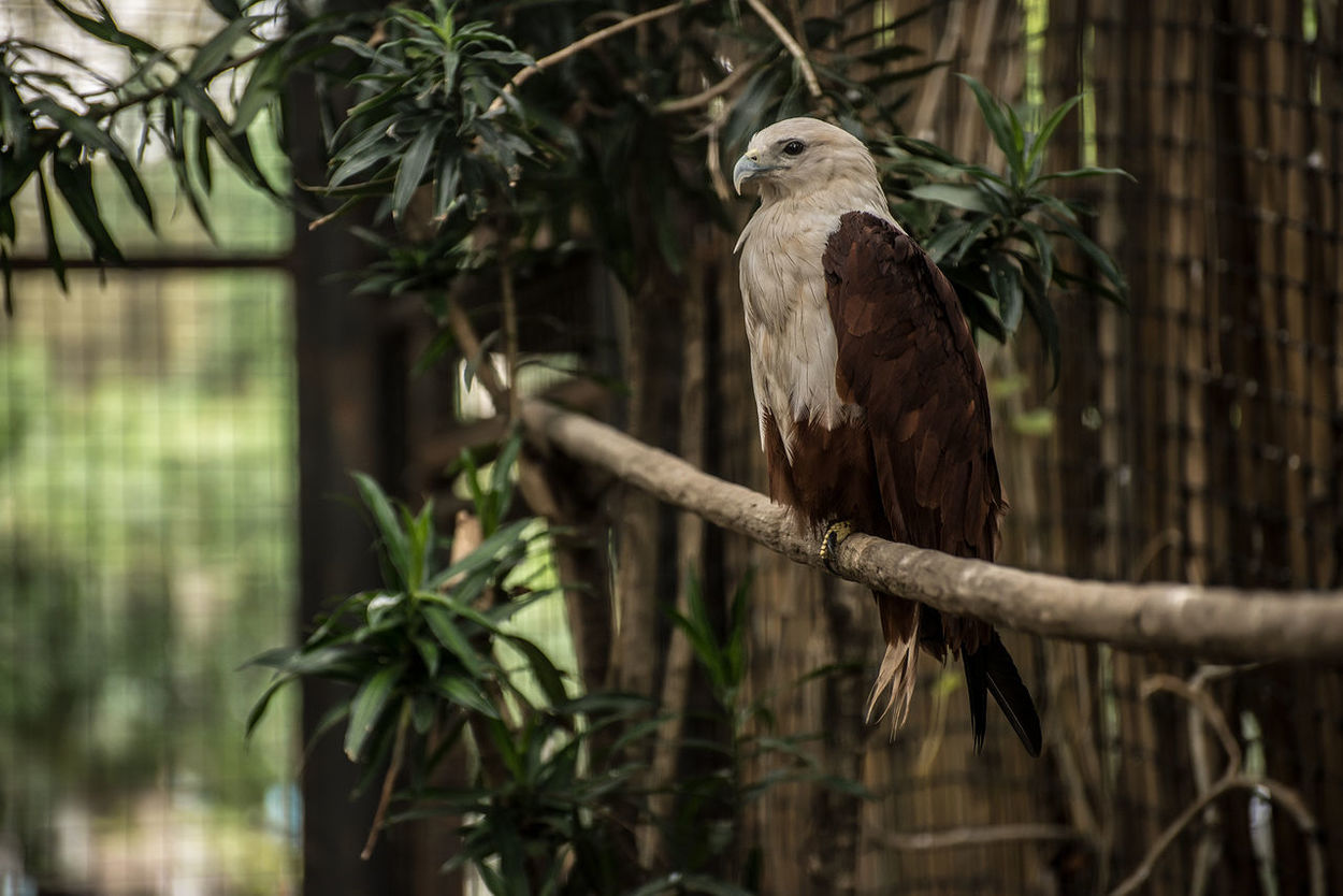Animal Animal Themes Animal Wildlife Animals In The Wild Bird Bird Of Prey Branch Day Eagle Eagles Eyeem Philippines No People One Animal Outdoors Perching Philippine Eagle Serpent Eagle Tree White Bellied Eagle