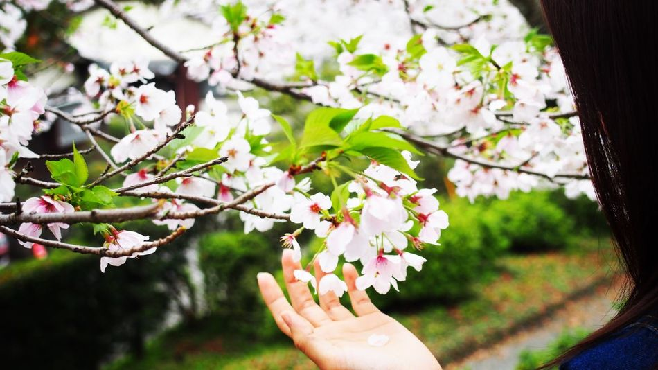 春 桜 Spring Beauty In Nature Real People Tree Cherry Blossoms
