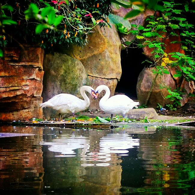 Love is beautiful Fine Art Photography Love Swan Love♥ Color Of Live Hanging Out Taking Photos Check This Out Relaxing Enjoying Life Having Fun Taking Photos Swan Lake Swans ❤ Swans Swans Of Eyeem Swan Close Up