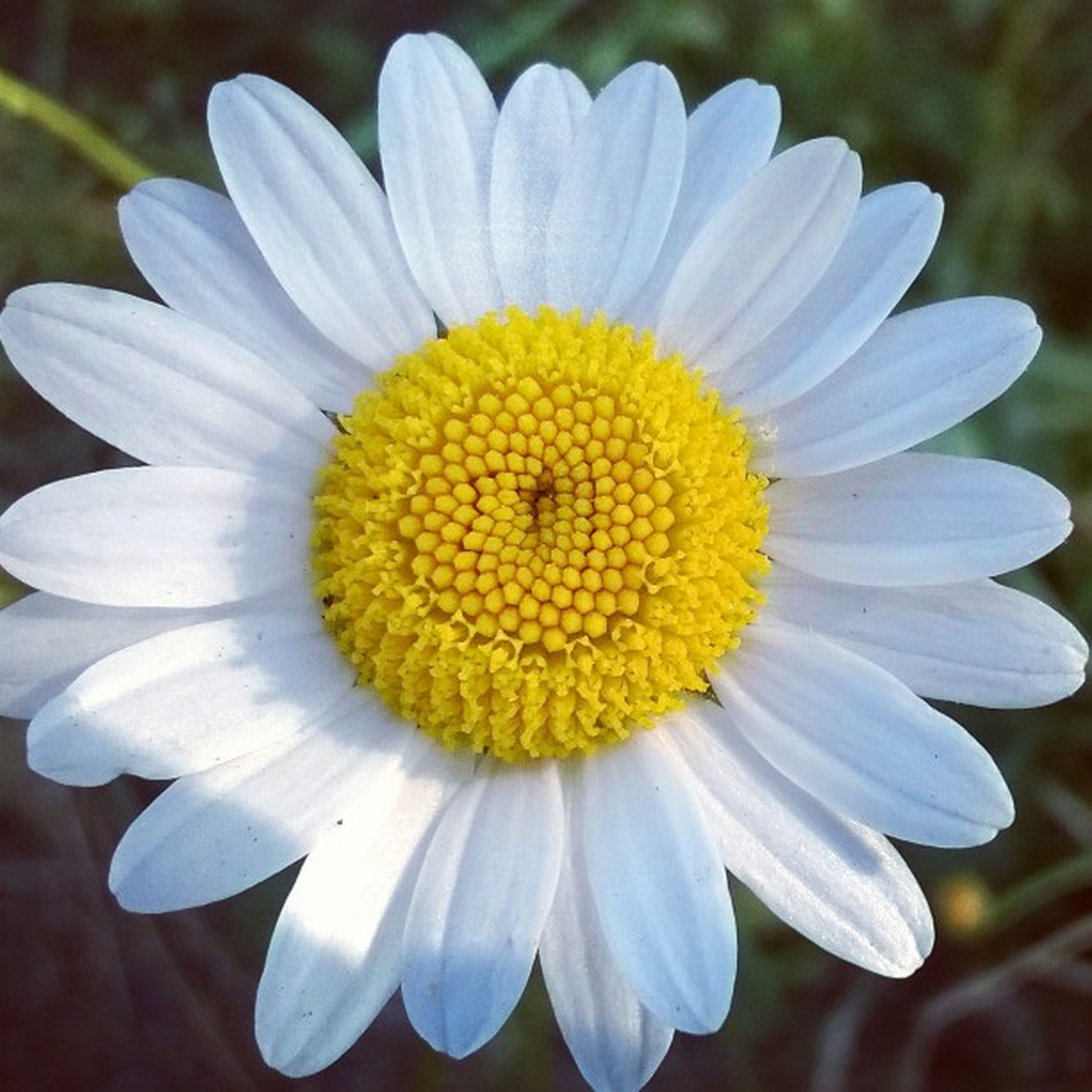 flower, petal, freshness, flower head, fragility, yellow, pollen, close-up, beauty in nature, growth, single flower, daisy, focus on foreground, blooming, nature, white color, in bloom, plant, outdoors, day