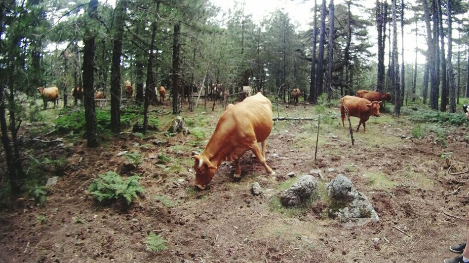 First Eyeem Photo In The Forest On The Mountain Pack Of Deer Pack Of Cows Wild Cows Forestwalk