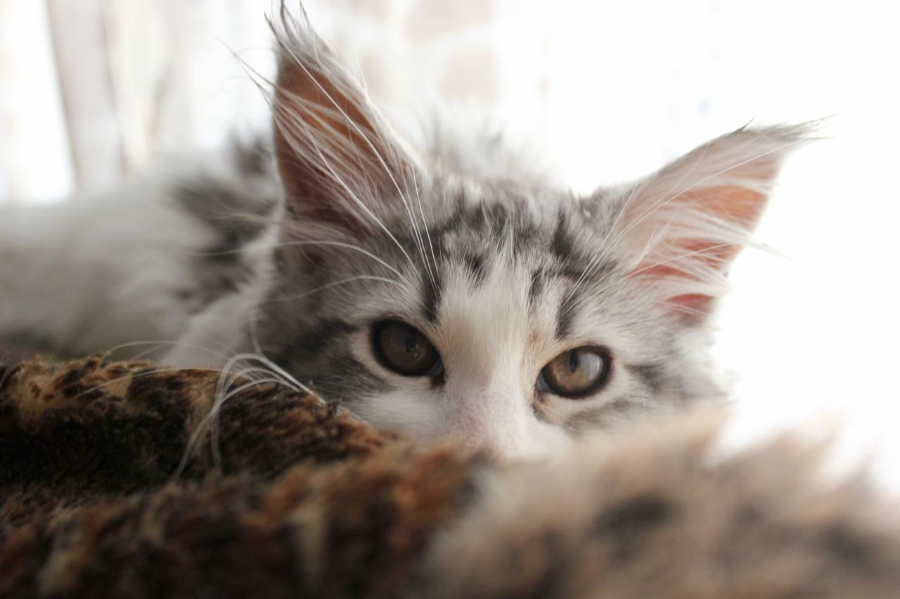 Animal Themes Close-up Domestic Cat Eye Indoors  Looking At Camera Maine Coon No People One Animal Pets Portrait