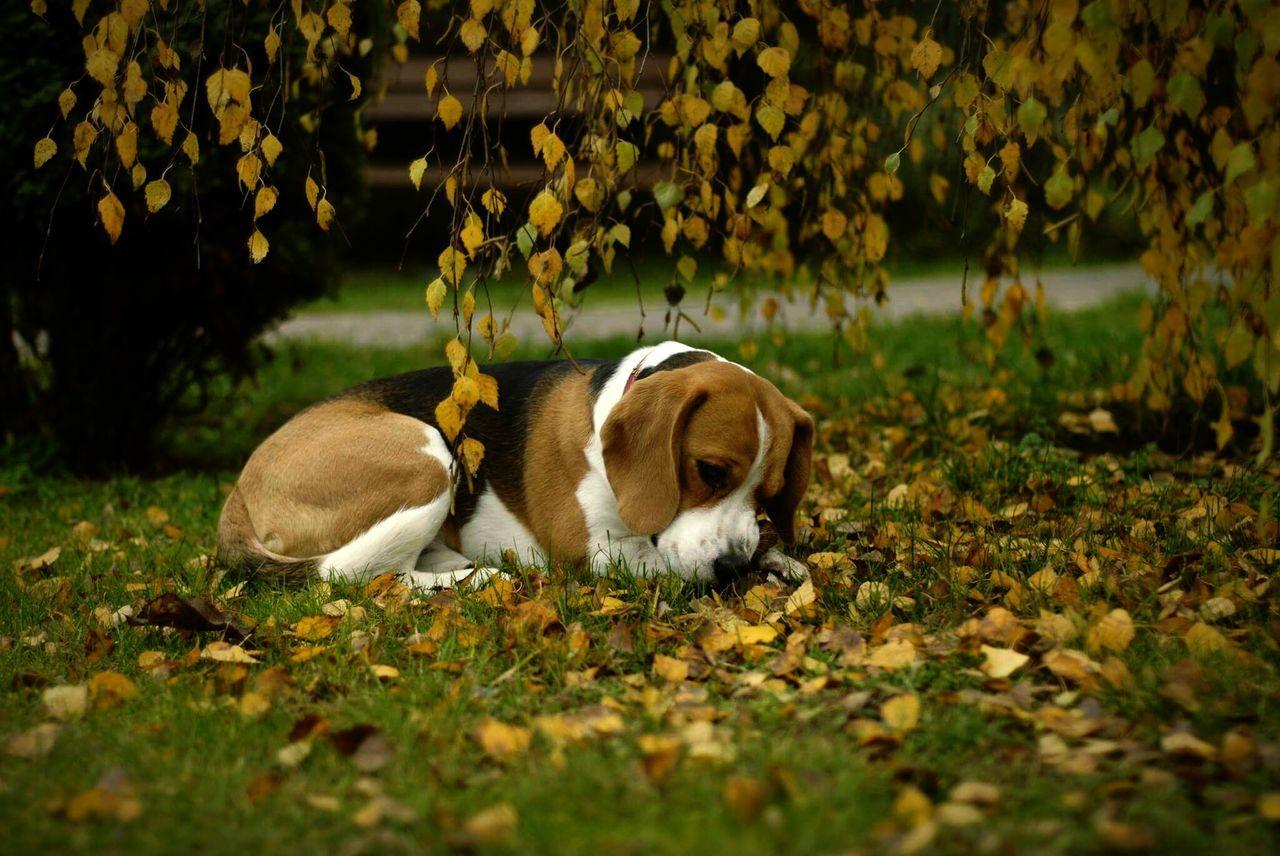 Dog Beagle Puppy Autumn Autumn Colors Autumn Leaves BYOPaper!