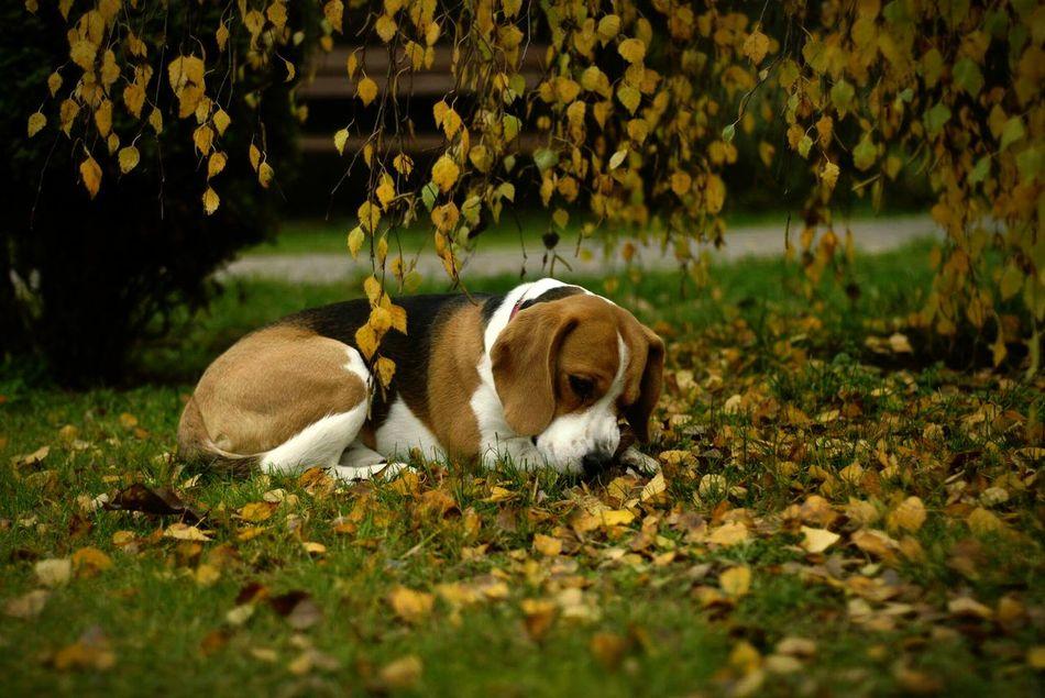 Beautiful stock photos of beagle, Animal Themes, Beagle, Day, Dog