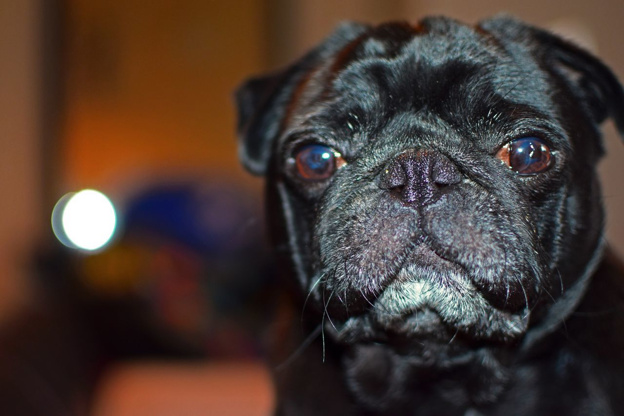 Beautiful stock photos of pugs, Animal Themes, Black Color, Close-Up, Dog