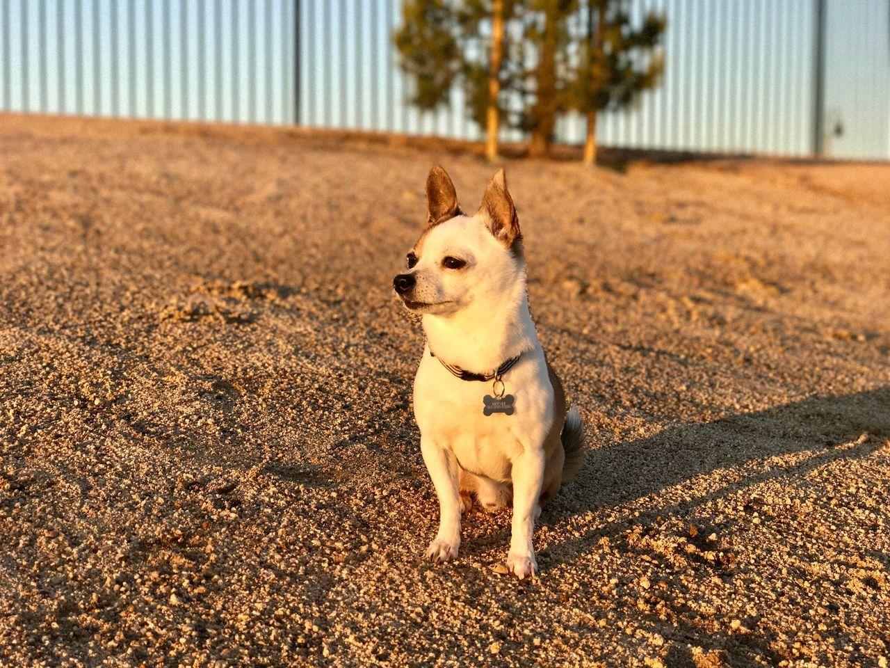 Martini -Dog Park Pets Dog Outdoors No People Sitting Chihuahua
