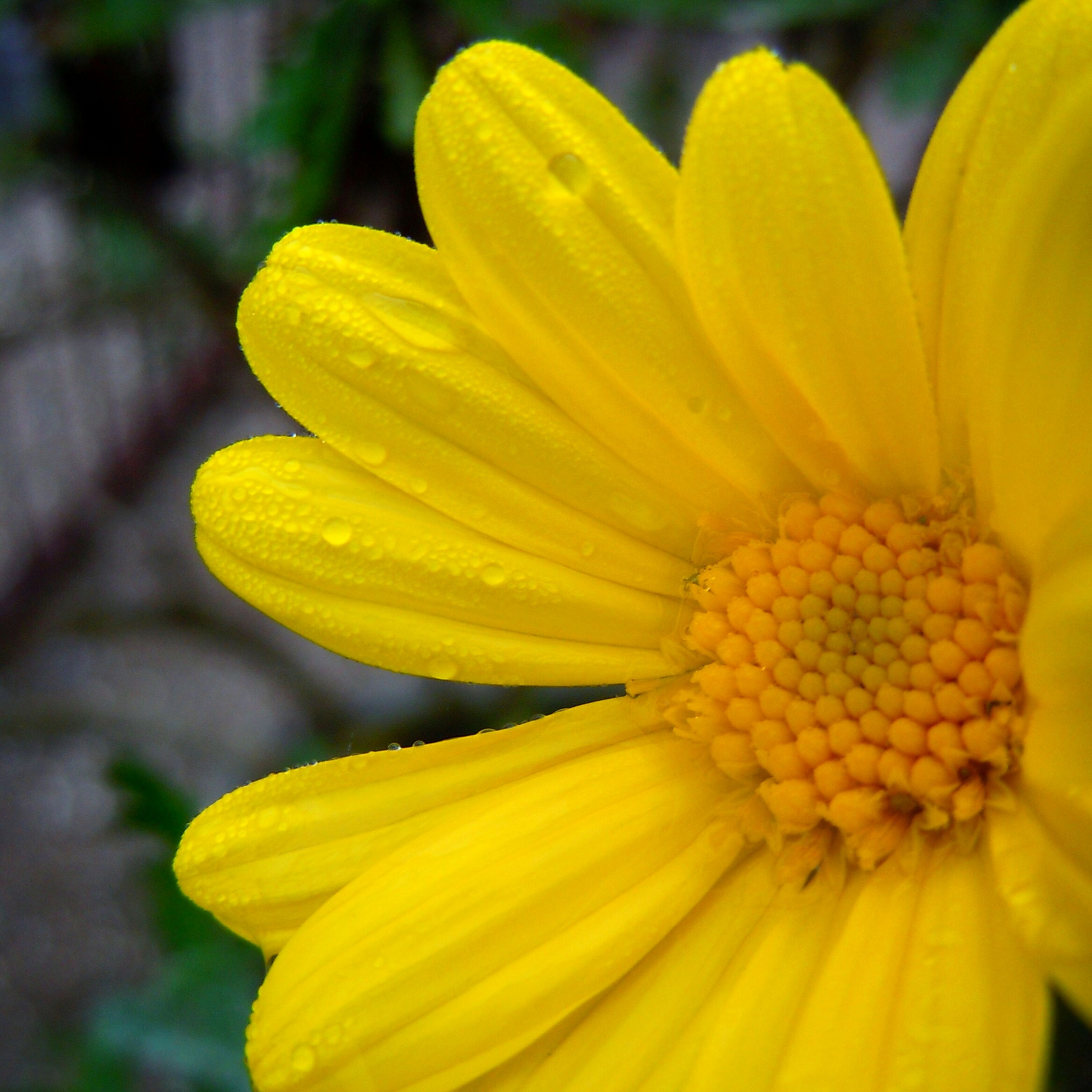 yellow, flower, petal, freshness, fragility, flower head, close-up, growth, beauty in nature, focus on foreground, nature, blooming, in bloom, pollen, plant, selective focus, vibrant color, blossom, drop, stamen