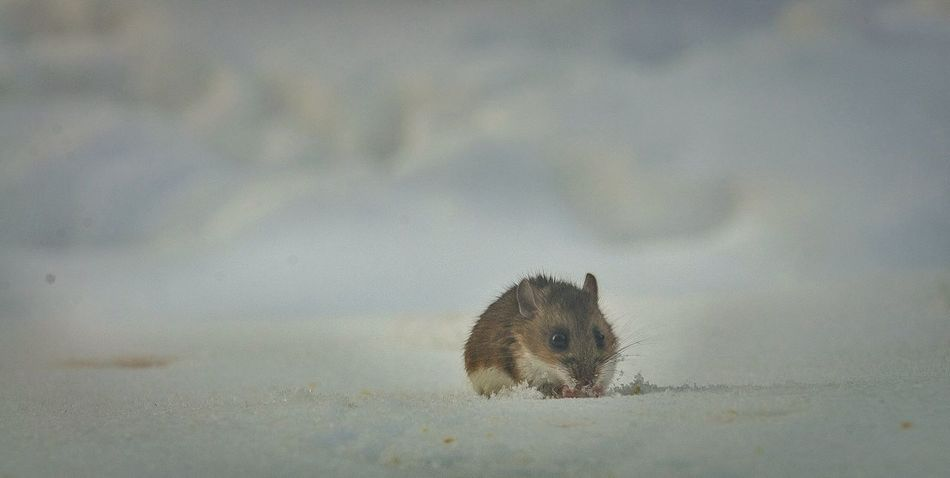 Beautiful stock photos of hamster, Animal Themes, Animals In The Wild, Cold Temperature, Day