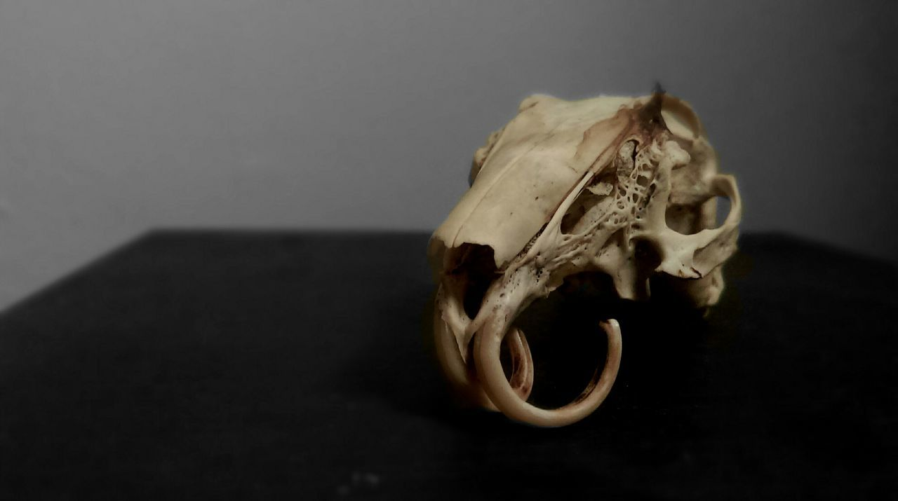 Beautiful stock photos of skull, Animal Body Part, Animal Bone, Animal Skeleton, Animal Skull