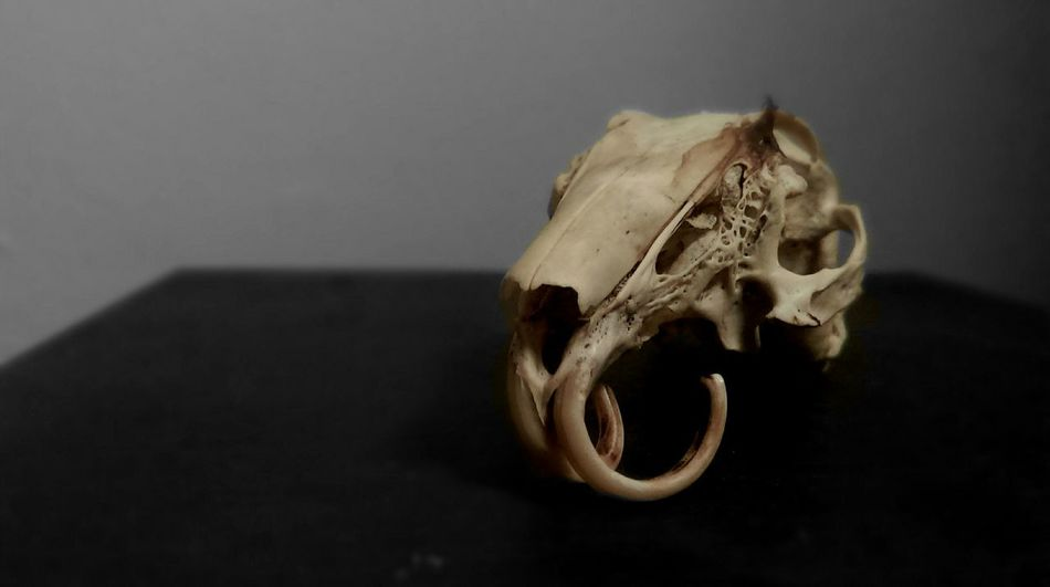 Beautiful stock photos of gothic, Animal Body Part, Animal Bone, Animal Skeleton, Animal Skull