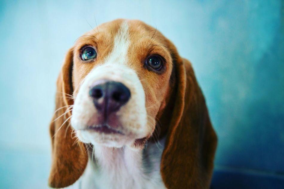 Beautiful stock photos of beagle, Animal Themes, Beagle, Close-Up, Day