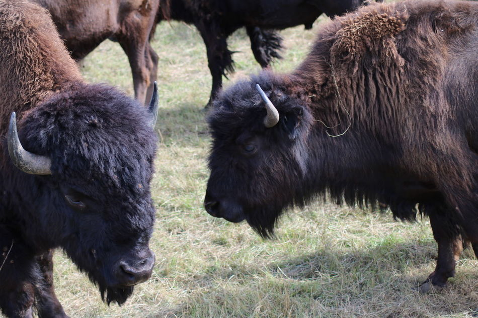 Hettstedt, Stangerode Animal Themes Animals Bison Day Domestic Animals Field Grass Livestock Mammal Nature No People Outdoors Stangerode Tiere Tierpark