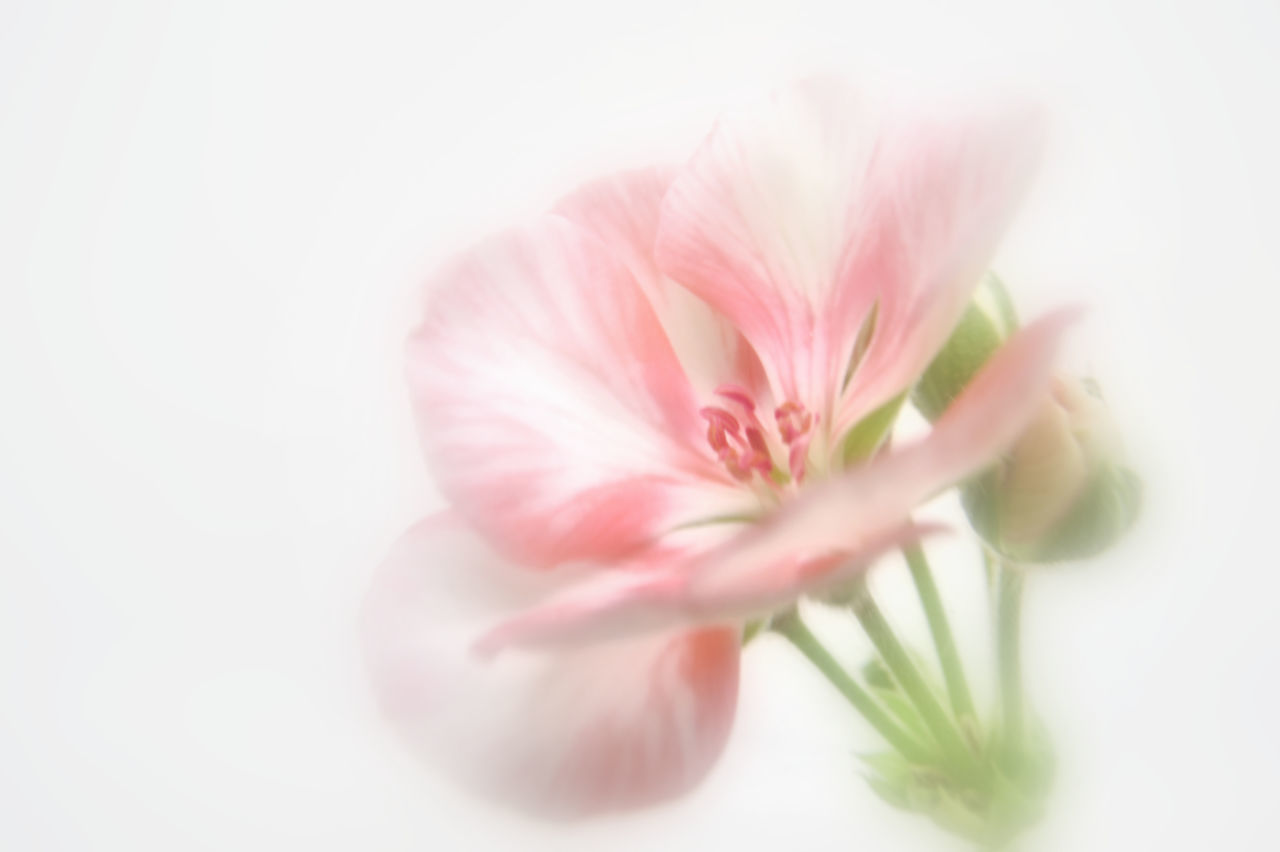 flower, white background, pink color, studio shot, selective focus, close-up, fragility, petal, plant, no people, flower head, nature, beauty in nature, freshness, day