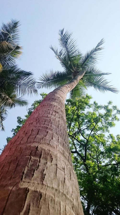 Coconut Trees , Tropical Summer . Wish Chennai reduces its humidity during summers. The sauna effect is tough