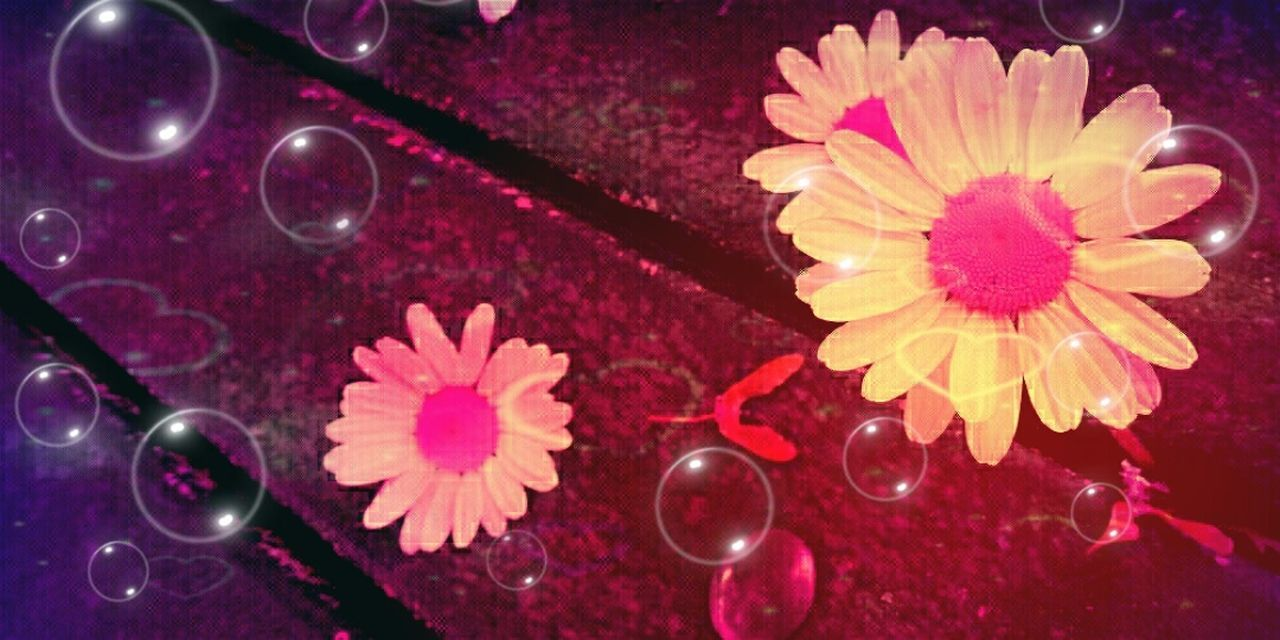 Nature's Diversities Pink Daisy Fantasy Bubbles Hanging Out Taking Photos Check This Out Hello World Relaxing Enjoying Life Modern Art Today's Hot Look Beautiful Magical Amazing Heart