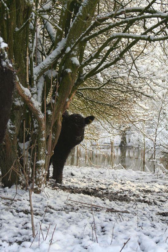 Netherlands Molfotografie Dutch Landscape Natuur Nature Wageningen Blauwekamer Winter Cow