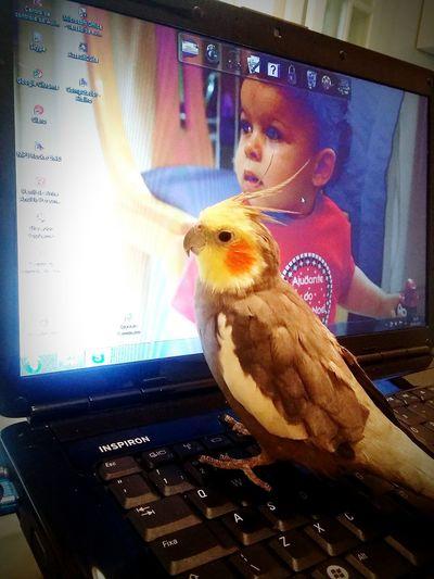 Calopsitas RePicture Friendship Animals Bird Photography Meu Pinho De Estimação. My Best Photo 2015 Ilovemybird