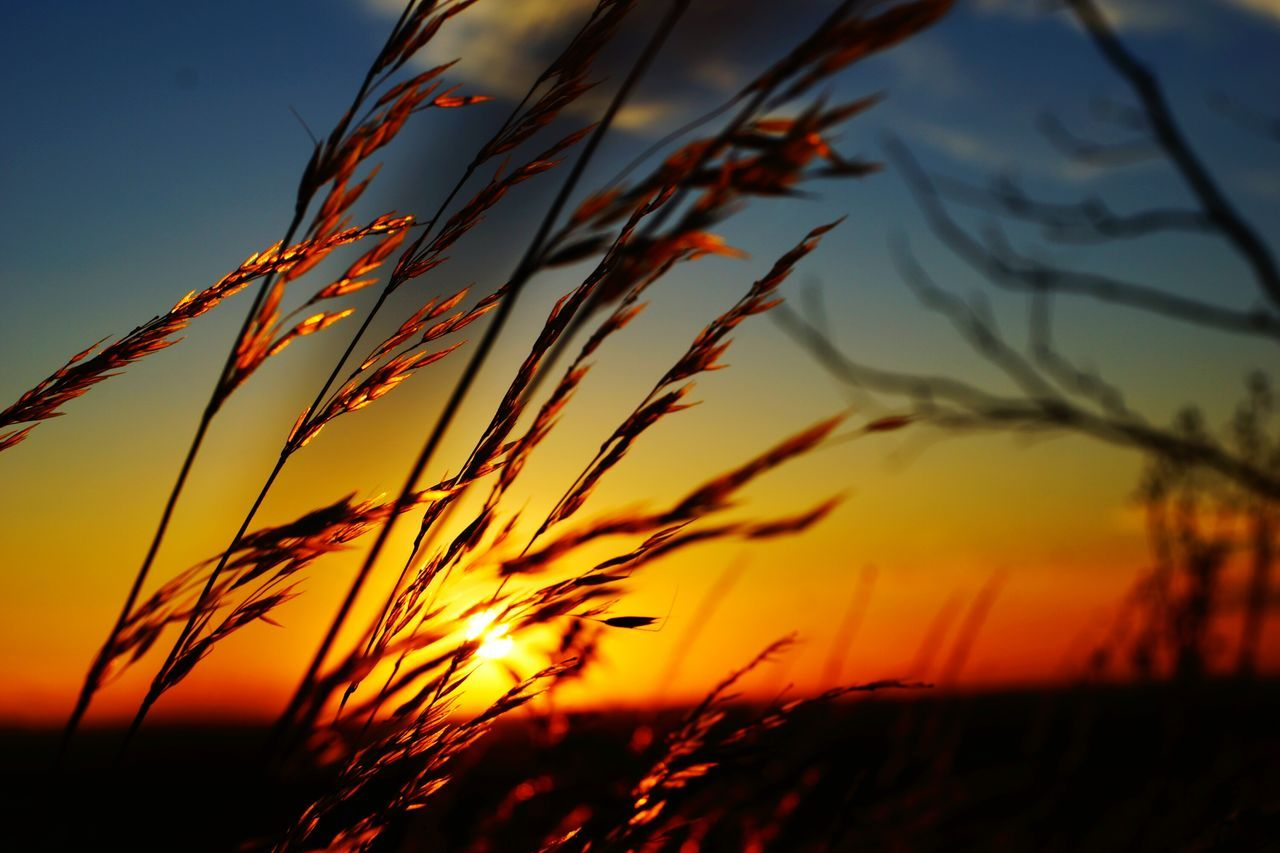 sunset, nature, growth, orange color, beauty in nature, sky, tranquility, no people, outdoors, crop, plant, scenics, tranquil scene, field, agriculture, rural scene, sunlight, straw, silhouette, grass, cereal plant, close-up, freshness, day