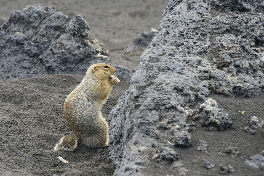 Ground squirrel in Kamchatka eating cheese Animal Themes Animals In The Wild Beauty In Nature Day Far East Kamchatka Mammal Nature No People One Animal Outdoors Rock - Object Russia Squirrel