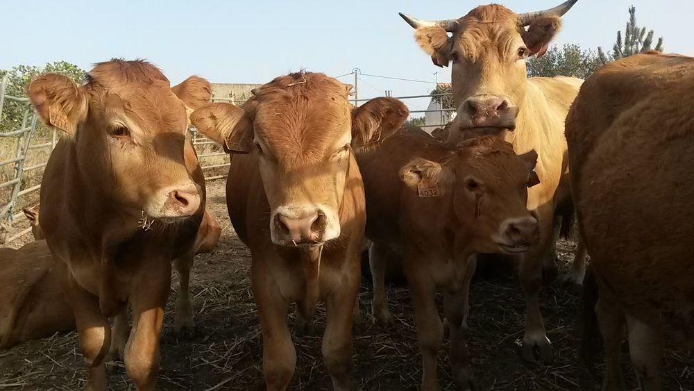 Animal Looking At Camera Rural Scene Outdoors Cow Nature Close-up Holidays
