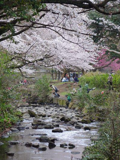 Inokashira Park Tokyo Japan Sakura Cherry Blossom