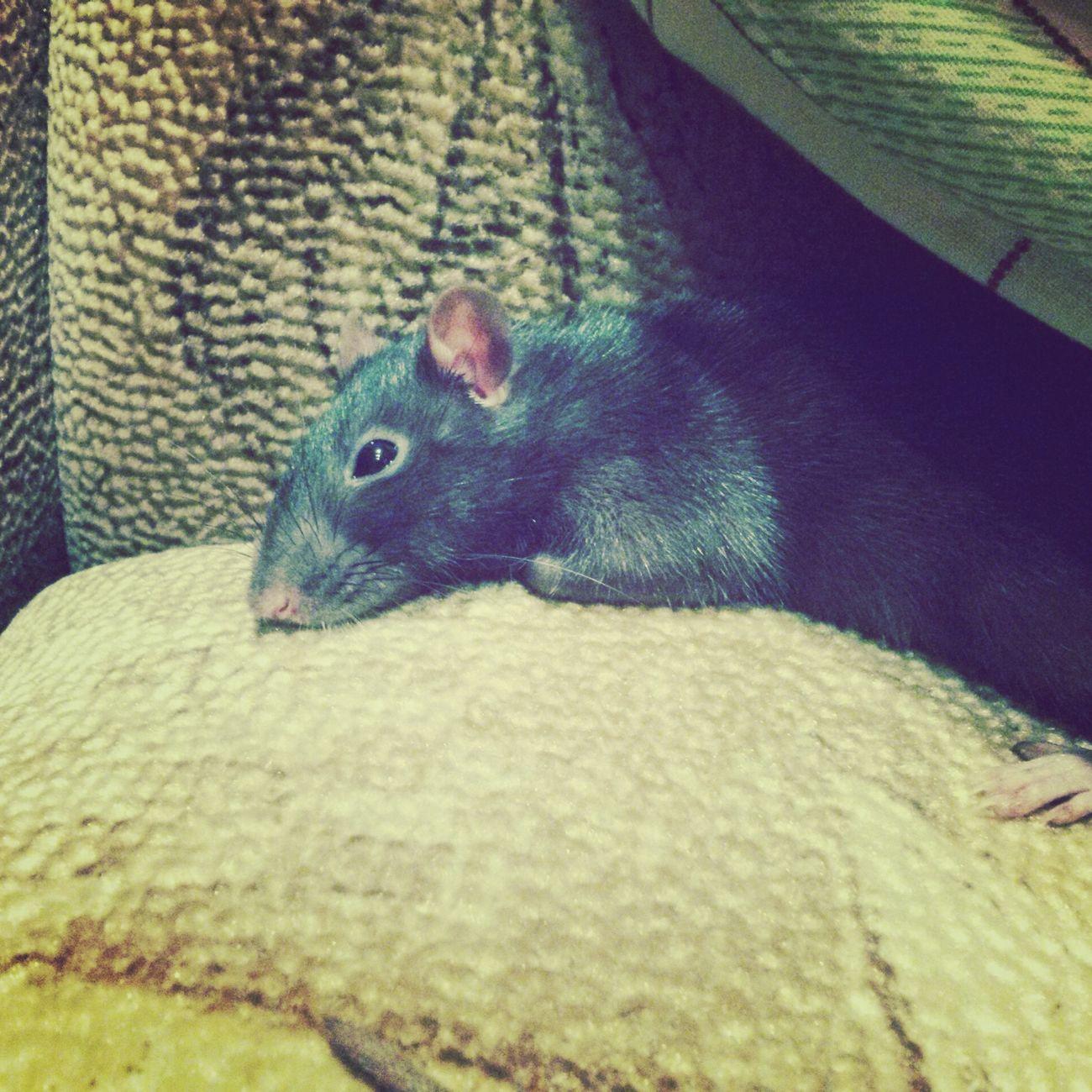 Моя мышуня Hi! Popular Photos Likes популярные фото животный мир Крысы крыса Loveanimals❤️ животные <3 AnimaLs <3 LADA крыска пацюк