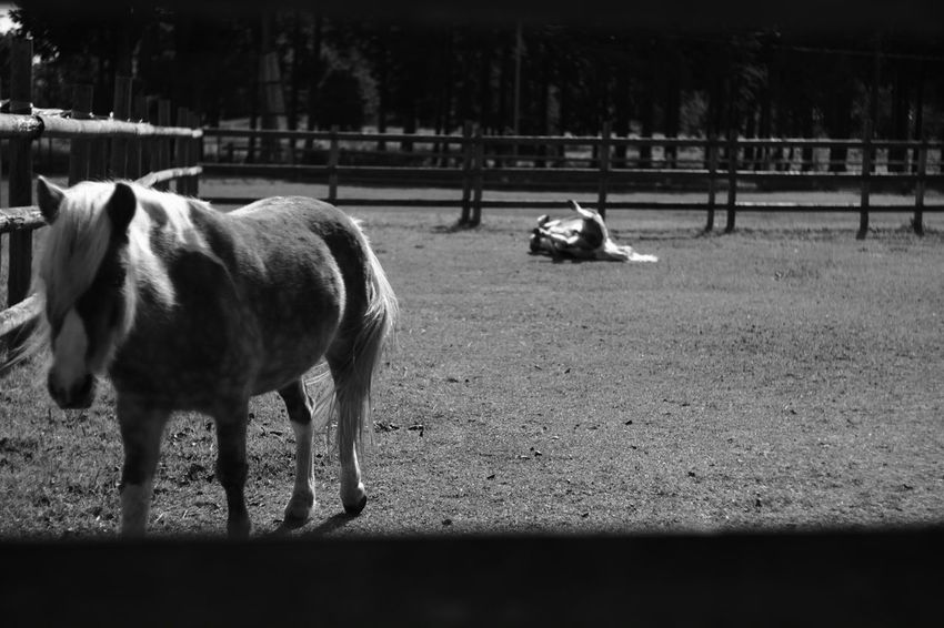 Such as beautiful days Relaxing Taking Photos Monochrome Black & White Black And White Photography Black And White B & W  B & W Photography Japan Japanese  Fujifilm X-Pro1 Voightlander Nokton Classic 40mm/F1.4 SC Voigtlnder My Photography X-Pro1 Farm Farm Life Horse Horses Pony Animal Animals Horse <3