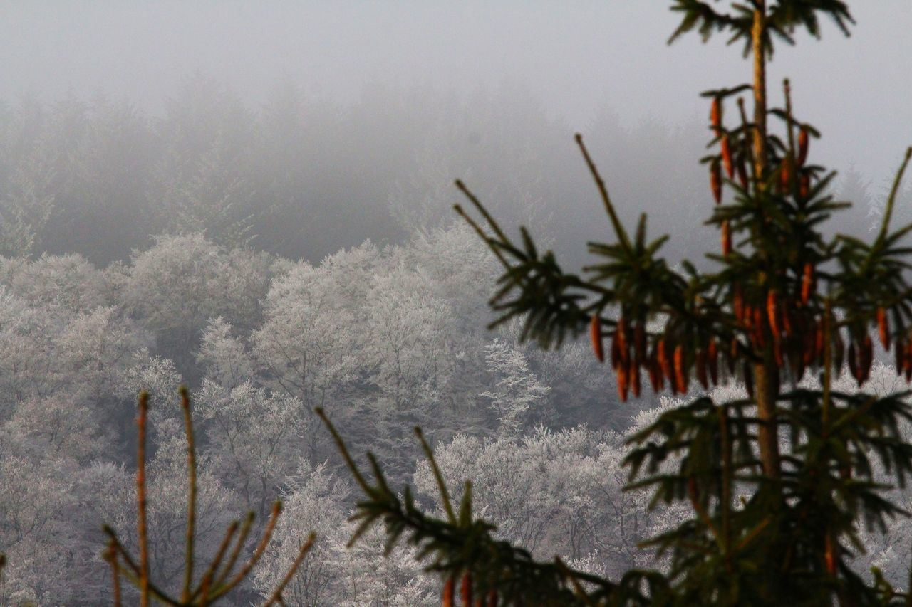 Beauty In Nature Buche Cold Dezember Fichte Germany Growth Hessen Hinterland Nature No People Outdoors Plant Reif Sky Tree Wald Winter Wood