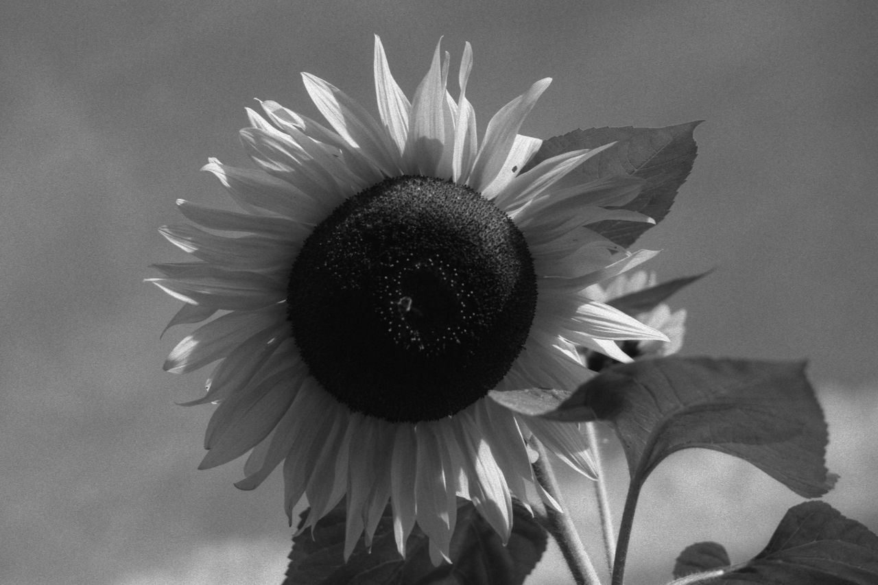 Sunflower 35mm Film Analogue Photography Black & White Bloom Blooming Flora Flower Flower Head Fomapan100 Garden Helianthus Annuus Leaves Nature Plant Rodinal Sky Sunflower