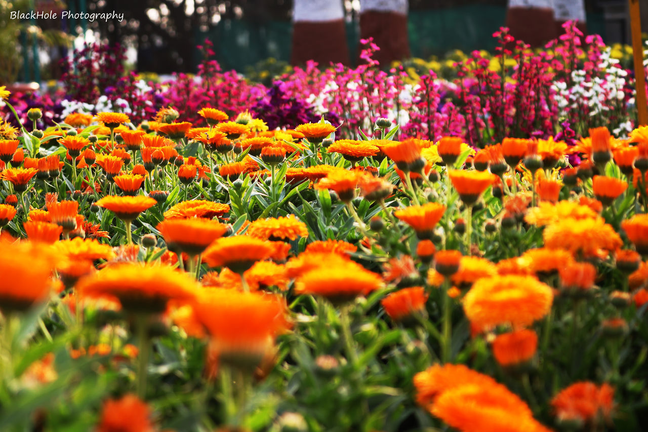 flower, beauty in nature, nature, growth, freshness, orange color, fragility, plant, petal, flower head, selective focus, blooming, marigold, outdoors, springtime, tranquility, no people, flowerbed, day, close-up