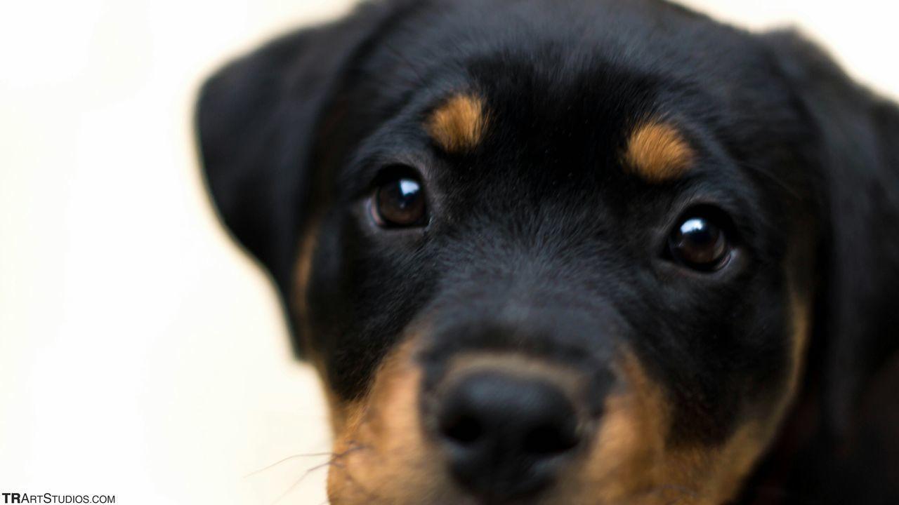 Rottweiler Puppy Animal_collection Dog Bestfriend EyeEm Masterclass Shootermag EyeEm Best Shots Eye4photography  Notes From The Underground