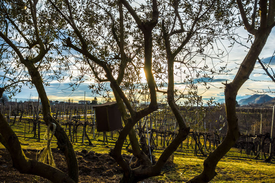 Beauty In Nature Day Landscape Nature No People Outdoors Sky Sun Through Trees Sunset Tranquility Tree Vineyards