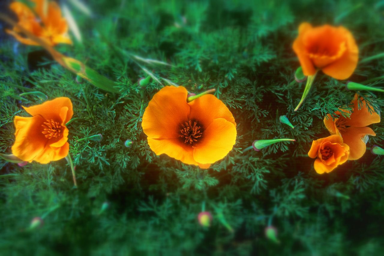 flower, growth, orange color, nature, freshness, plant, beauty in nature, petal, fragility, no people, field, flower head, marigold, outdoors, blooming, close-up, day