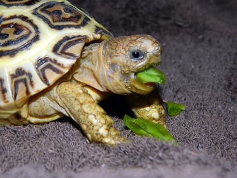 Yummy snacks Vibrant Colors Green Color Zoey The Tortoise Reptiles Tortoise Animal Photography Tortoise Pet Baby Tortoise Tortoiseshell Animalphotography Snowpeas Tortoise Eating