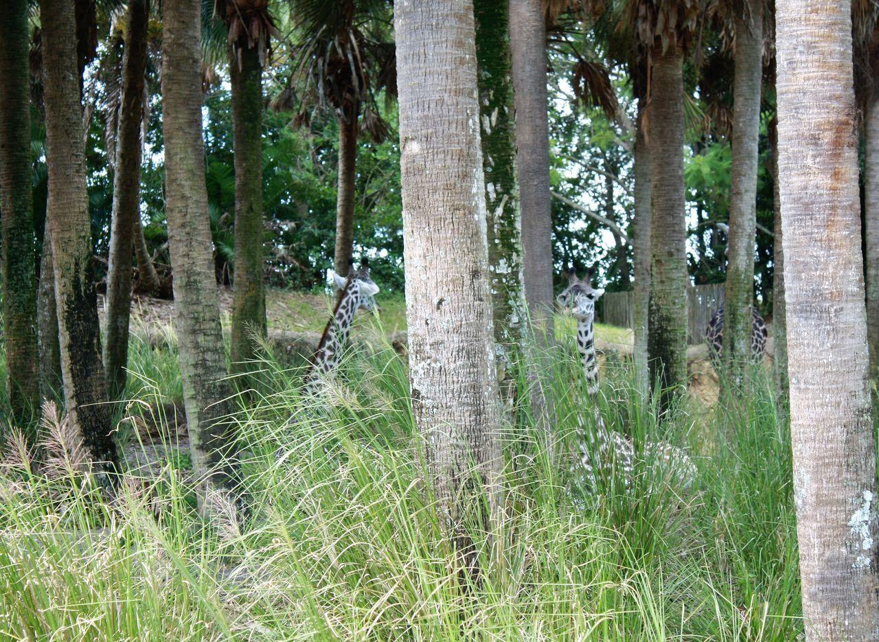 Beauty In Nature Day Giraffe♥ Landscape Tranquil Scene
