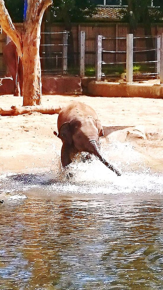 This baby elephant is enjoying a bit of water play on a hot day First Eyeem Photo