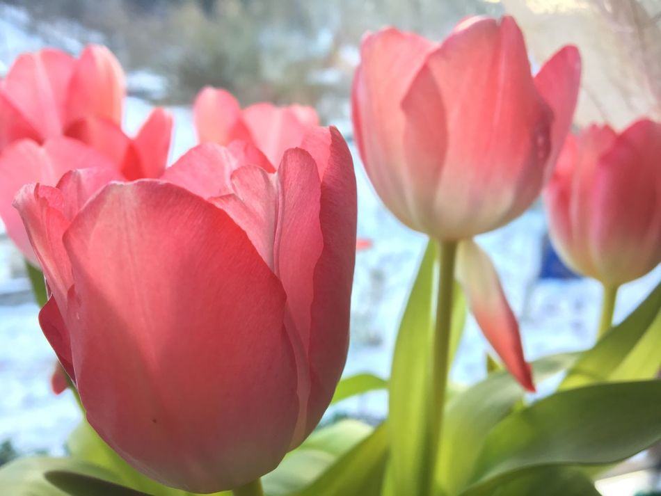 Flower Petal Freshness Nature Grace Fragility Pink Flower Flower And Snow Beauty In Nature Growth Flower Head Close-up Pink Color Plant No People Red Focus On Foreground Blooming Tulip Day Outdoors Leaf