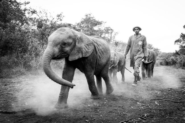 Animal Trunk Elephant Kenya Mammal Monochrome Photography Nairobi Outdoors People Person Togetherness Tree