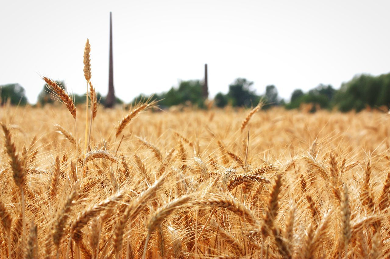 Beautiful stock photos of farm, Agriculture, Cereal Plant, Close-Up, Copy Space