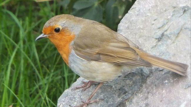 Bird Red Robin Nature