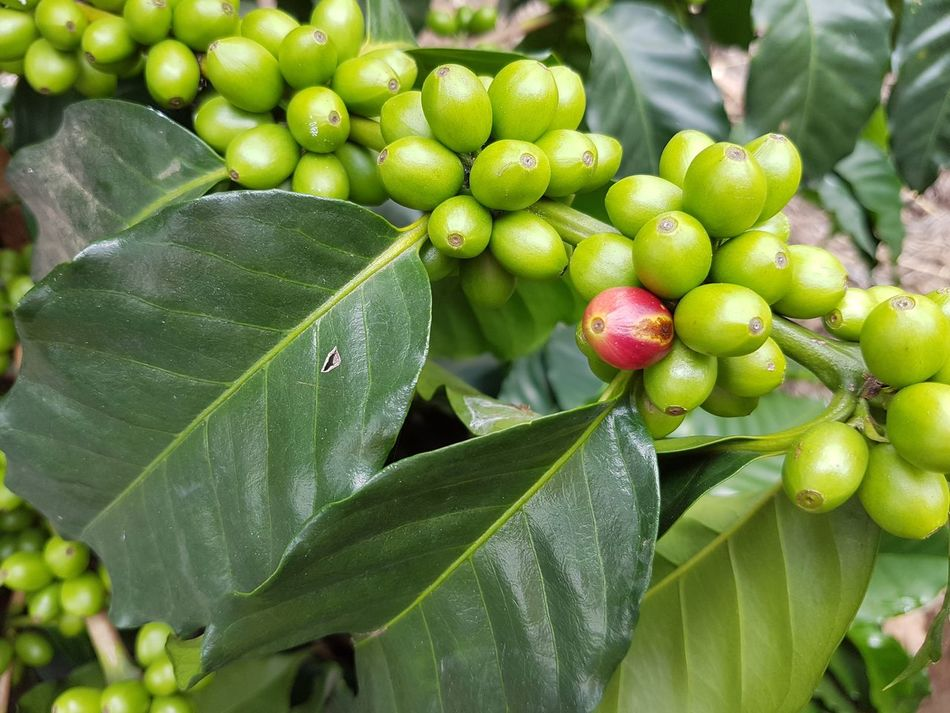 Abundance Arabicacoffee Beans Close-up Coffee Beans Coffee Plant Eye4photography  EyeEm Nature Lover Food Food And Drink Freshness Green Color Group Of Objects Growth Hanging Healthy Eating Large Group Of Objects Leaf Leaf Vein Nature No People Organic River TakeoverContrast