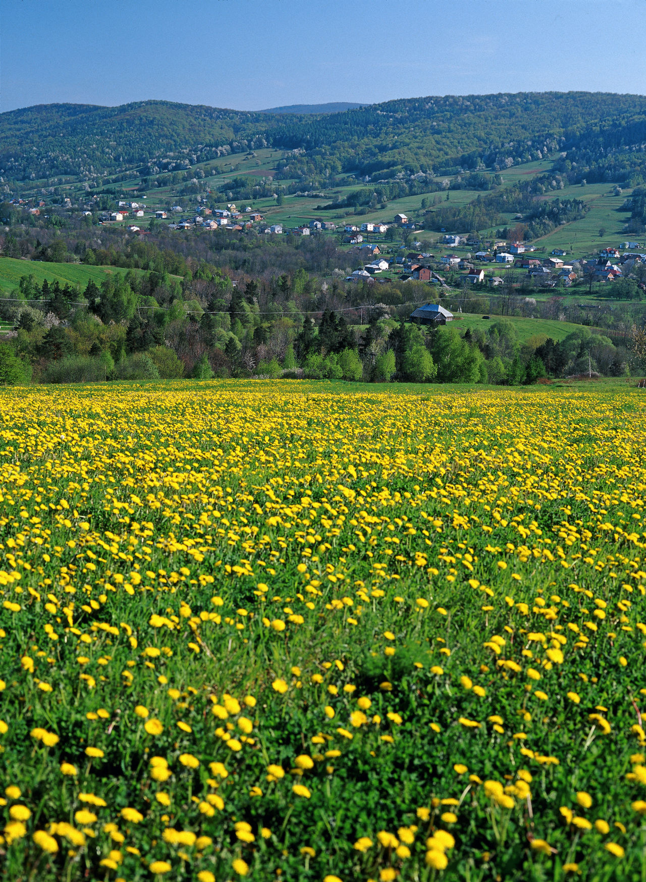 Beskid Beskid Niski Flower Plant Flowers Mountain Poland Polen Vertical Yellow