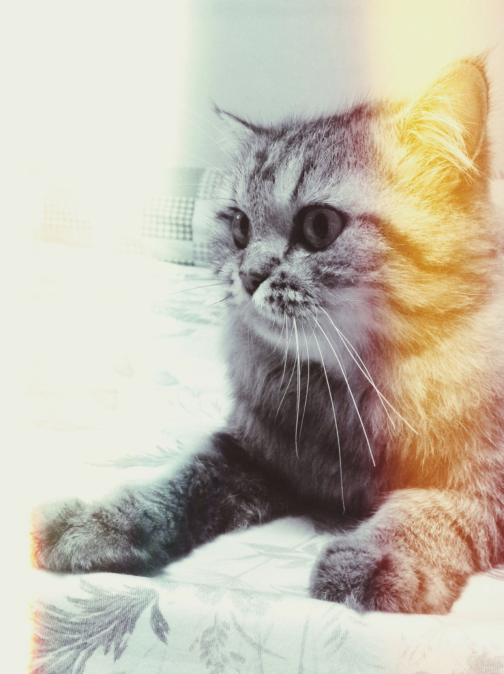pets, one animal, domestic cat, animal themes, domestic animals, cat, mammal, feline, whisker, indoors, relaxation, animal head, close-up, looking away, lying down, home interior, animal body part, alertness, no people, animal