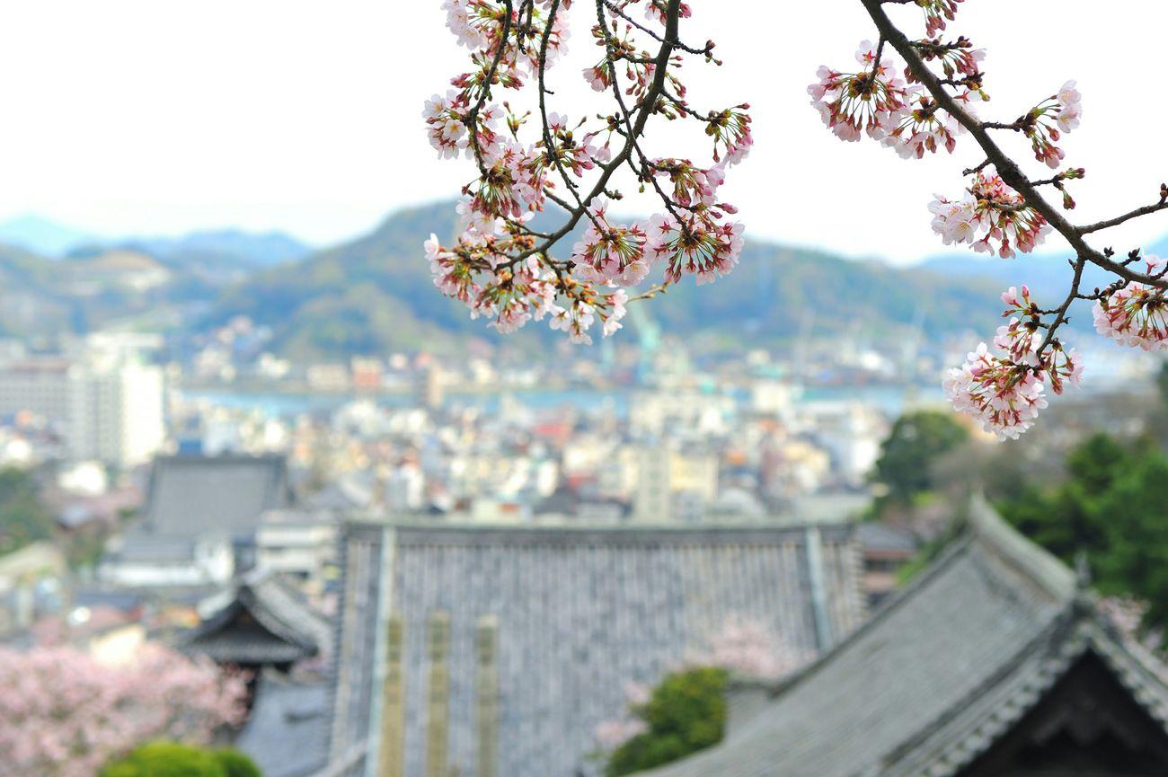 春 桜 Sakura 尾道 尾道水道 西國寺 Cherry Blossoms 好きな景色 瀬戸内 瀬戸内海