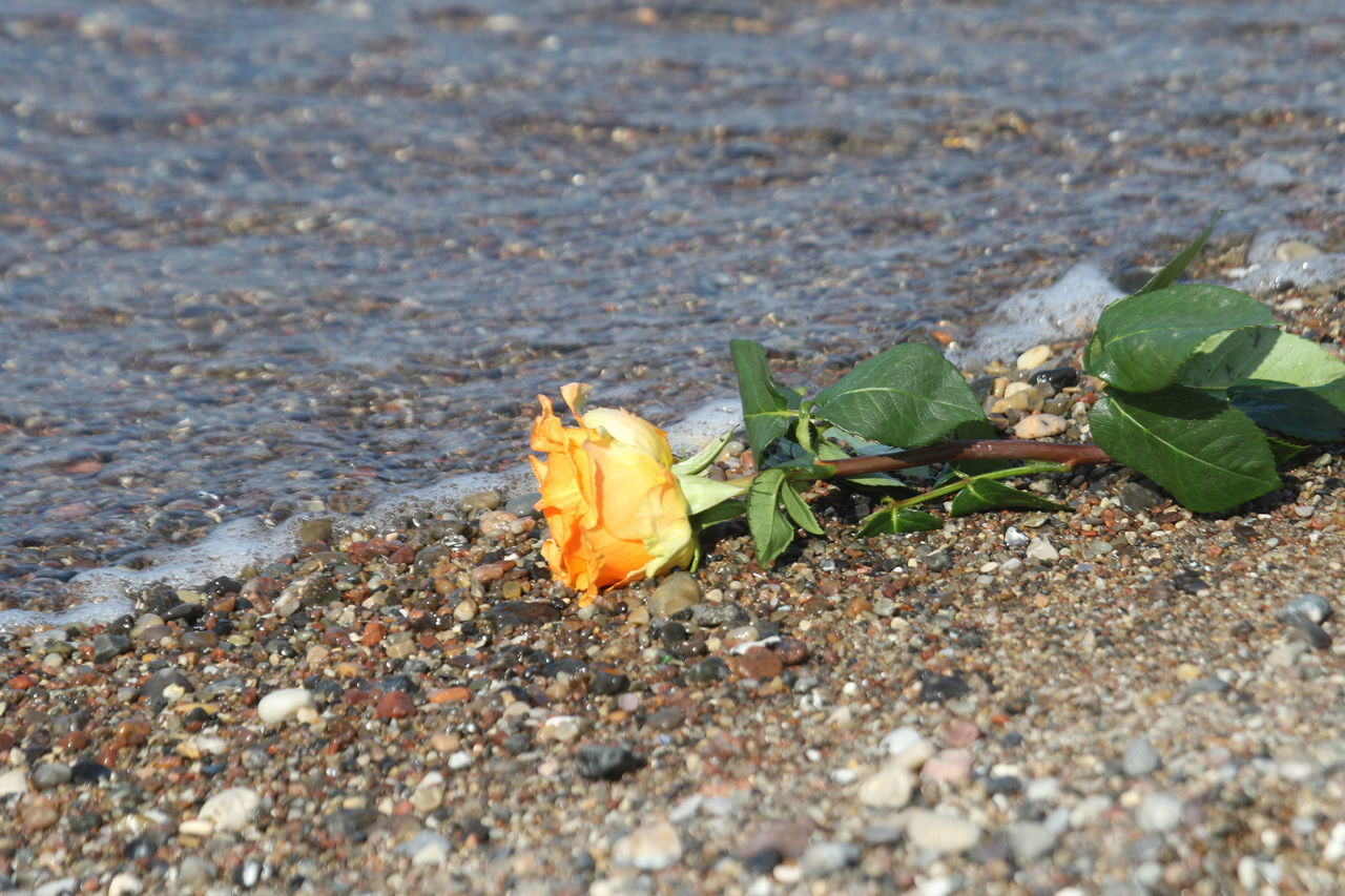 Beach Day Flower Flower Head Fragility Lost Nature No People Outdoors Rose - Flower Shore Yellow Rose