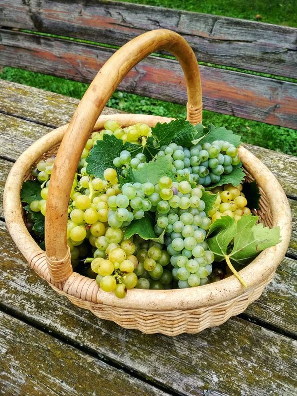 Basket No People High Angle View Growth Freshness Outdoors Healthy Eating Day Green Color Nature Food Close-up Grapes 🍇 Food And Drink Harvest Grapes Grape Agriculture Fruit